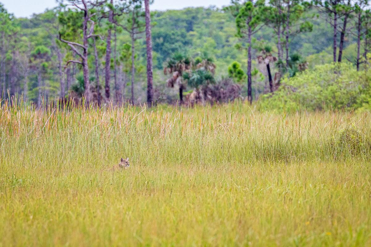 A very rare sight to see.  A Florida panther in the tall grass at ENP.