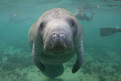 Help Save the Endangered Florida Manatee