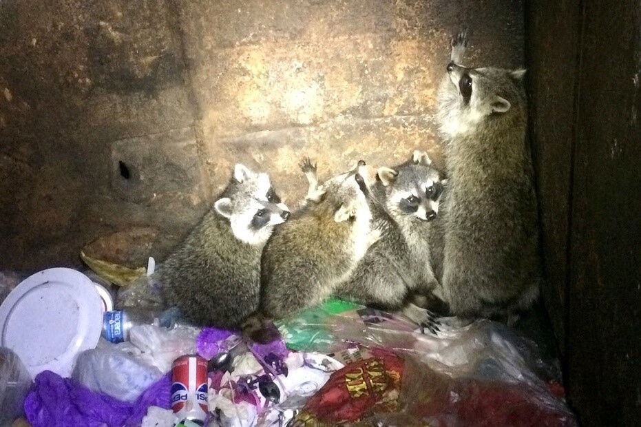 Raccoons scavaging in a dumpster at Tree Tops Park.