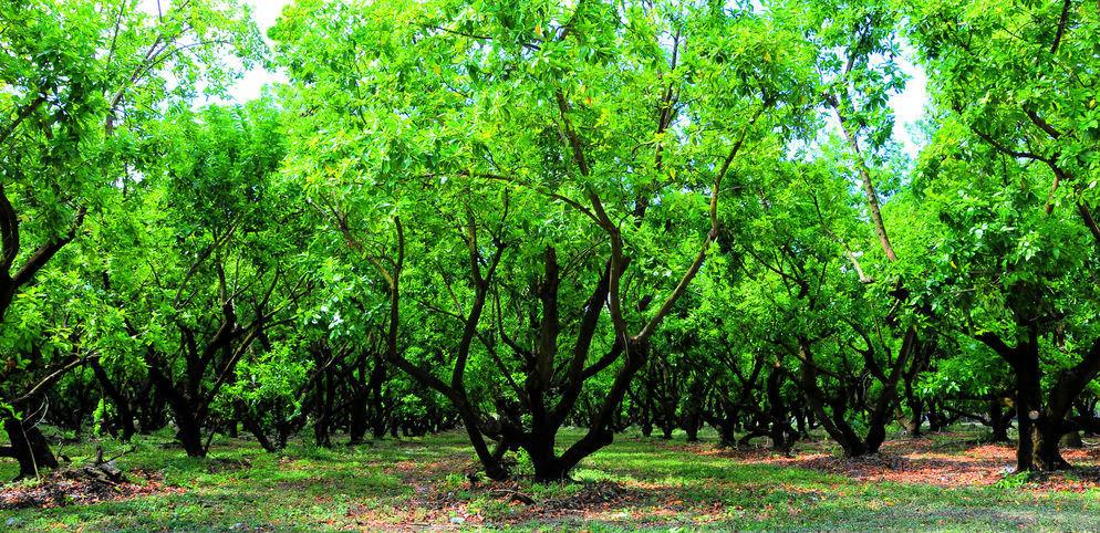 Avocado Grove