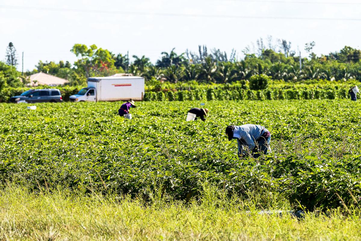 Workers in local fields will soon have no crops to pick as season closes