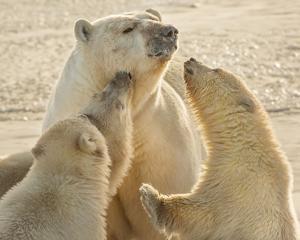 Polar Bear Mother & Cubs