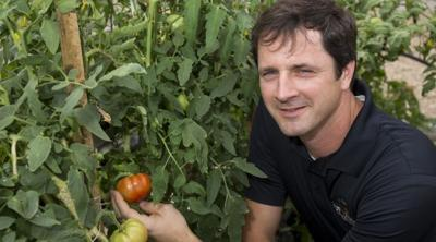 Sam Hutton, an associate professor of horticultural sciences at the UF/IFAS Gulf Coast Research and Education Center and a tomato breeder, examines tomatoes in his greenhouse.