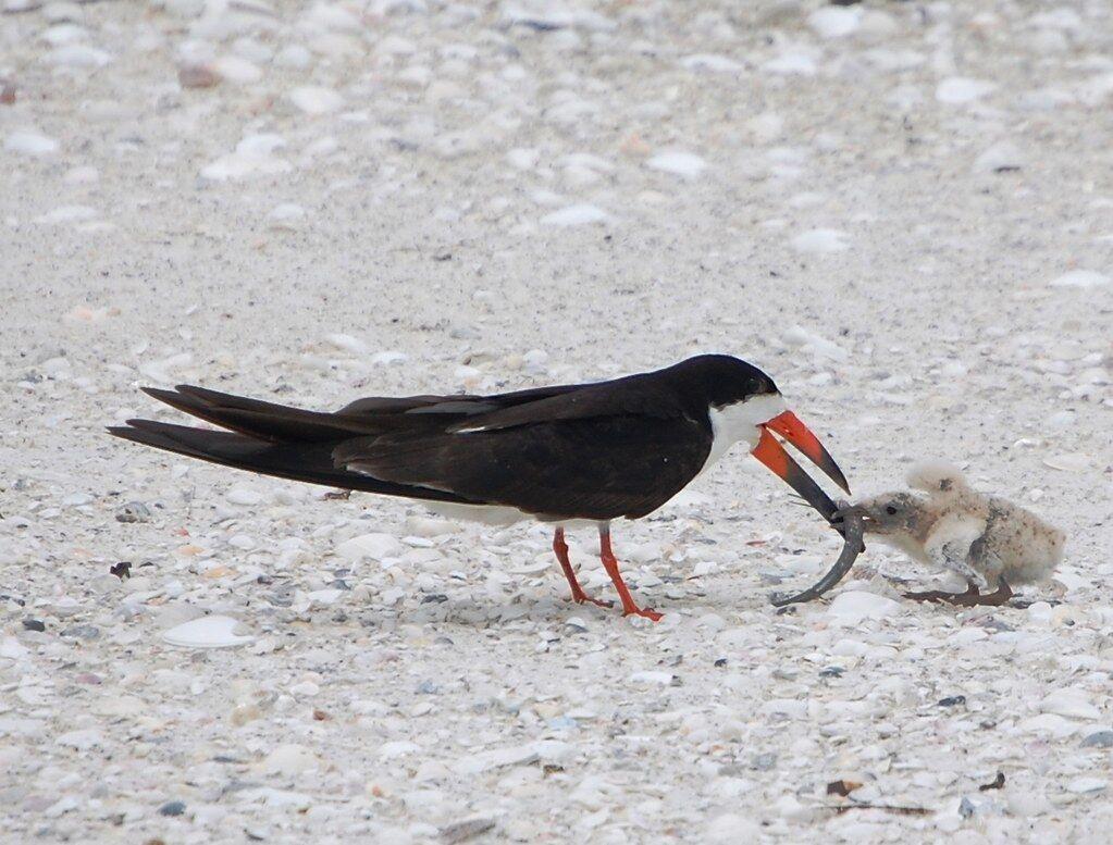 A black skimmer feeding its chick.
