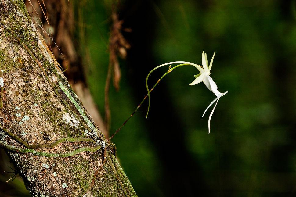 Ghost Orchid in ENP
