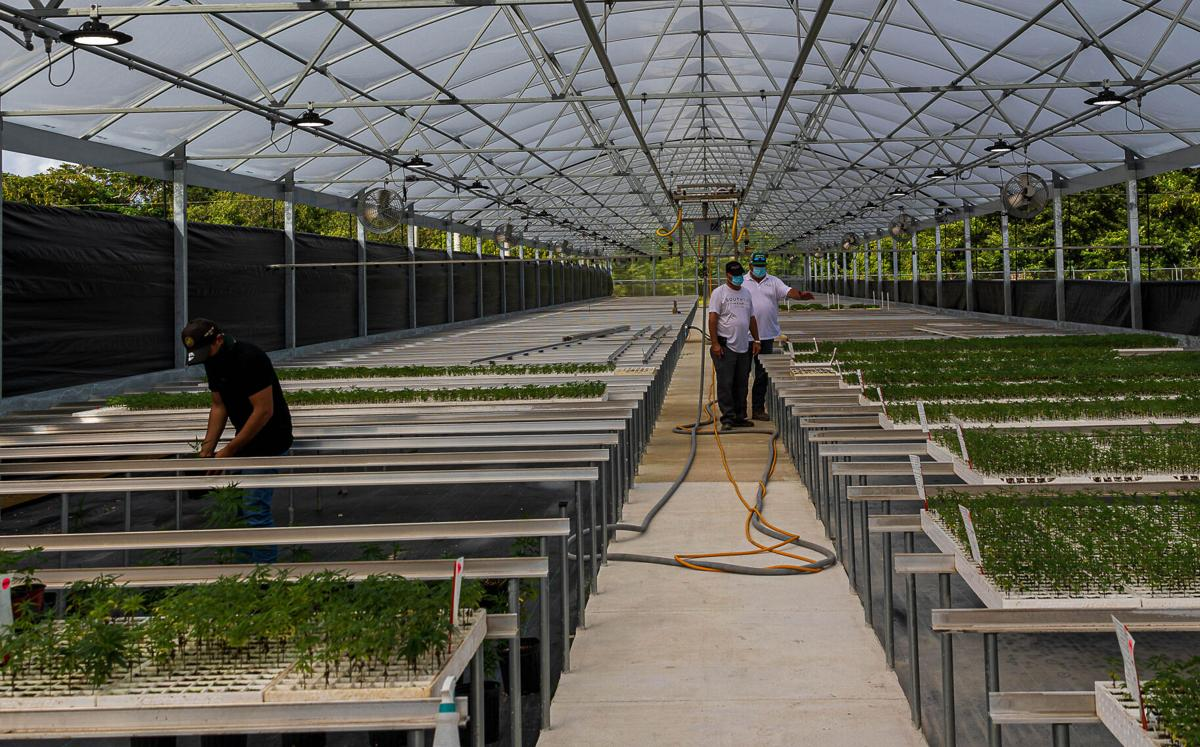 Hugo Talarico on the left and Leo Talarico and Sal Finocchario in center with hemp plants growing in 1 of 2 10,000 sq foot greenhouses.