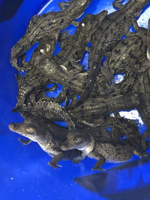 A container of three-day old crocodiles hatched at Turkey Point, Homestead.