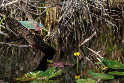 This Green Heron is hunting just off of Tram Road less than 50 yards from the Visitors Center parking lot.
