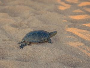 Beautiful small turtle crawling on the sand near the sea.