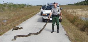 Park ranger with python captured in the Everglades