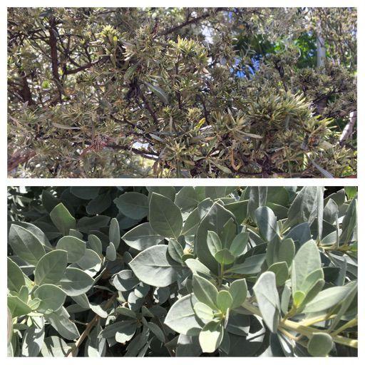 Healthy (bottom) vs Damaged (top) buttonwood trees, image courtesy Michelle Leonard-Mularz