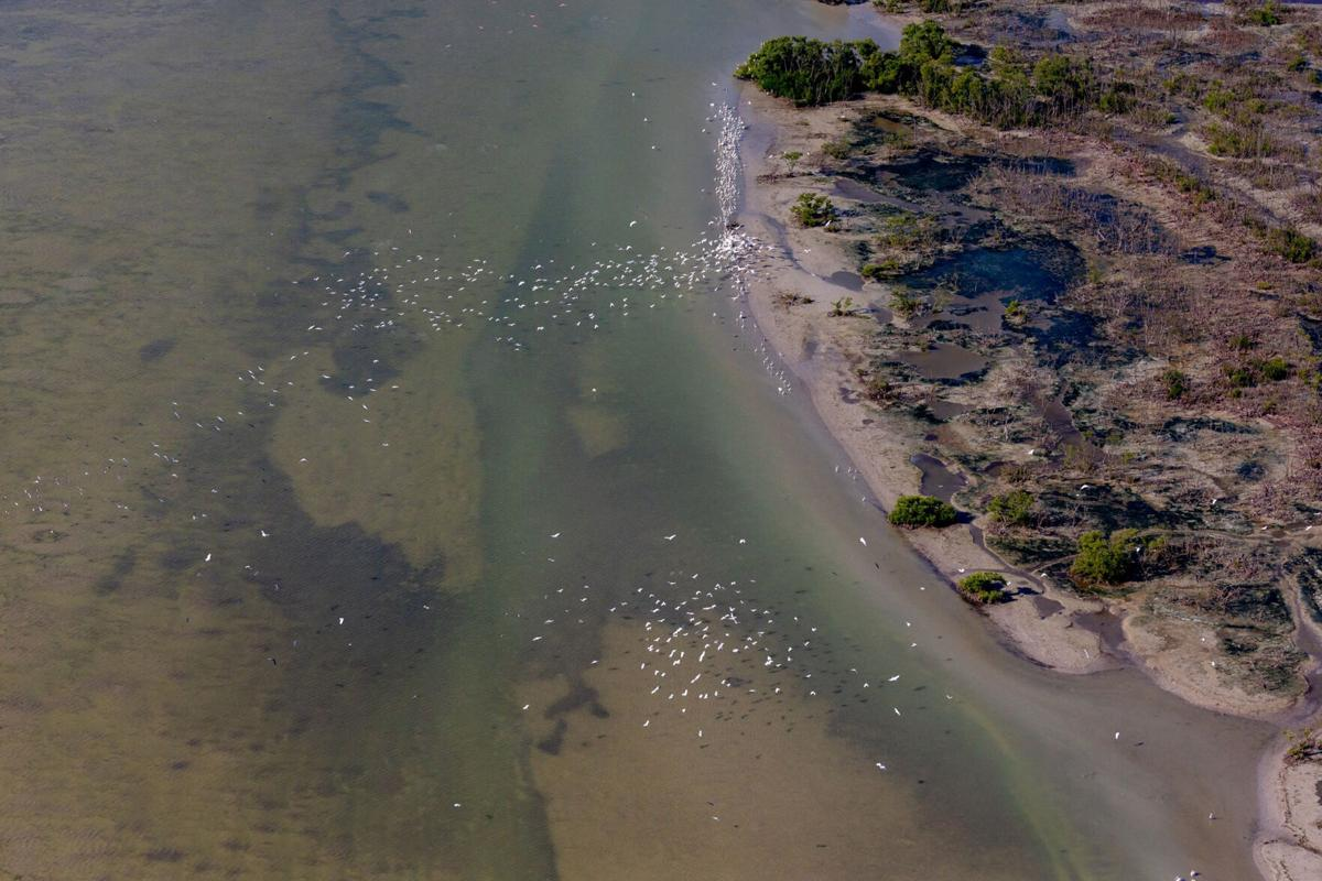 Wading birds speckle the coastal Everglades in growing numbers. Recent estimates put their numbers in the tens of thousands. Mass gatherings like this happened before the 2018 wading bird nesting season as well.