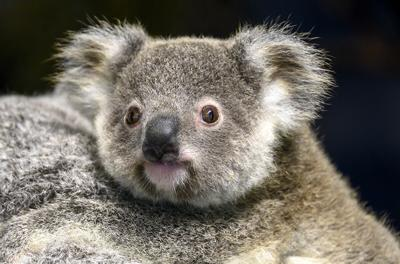 Hope, ZooMiami's 2 year old Koala, was found dead after short illness.
