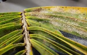 Presence of scale adults on palm leaf.