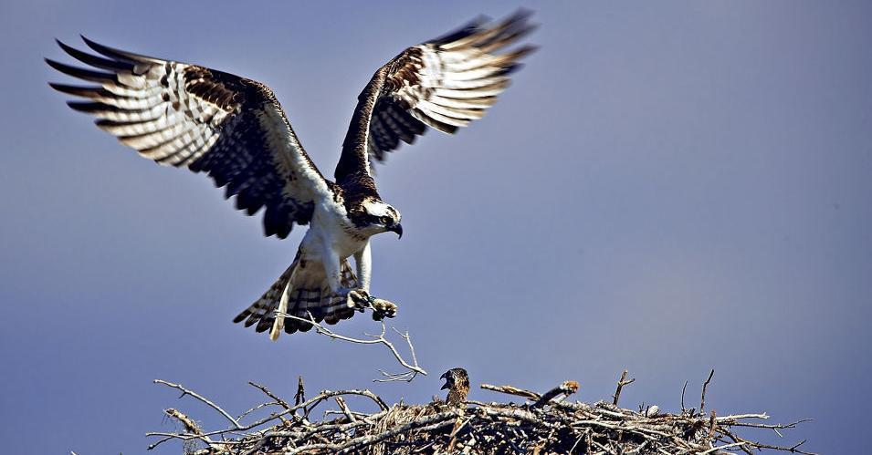 Osprey & Chick