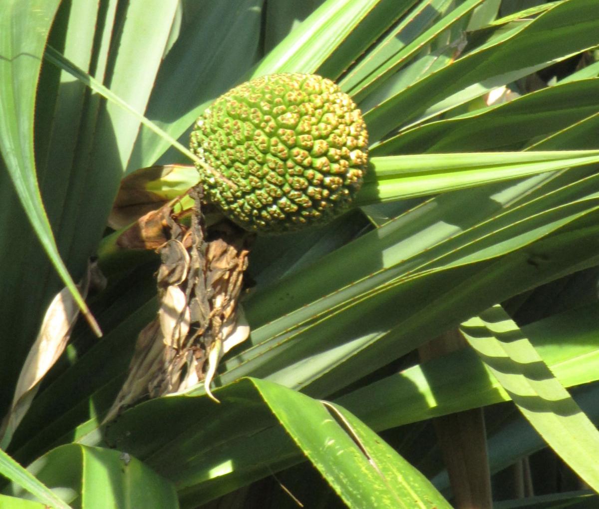 Pandanus cone