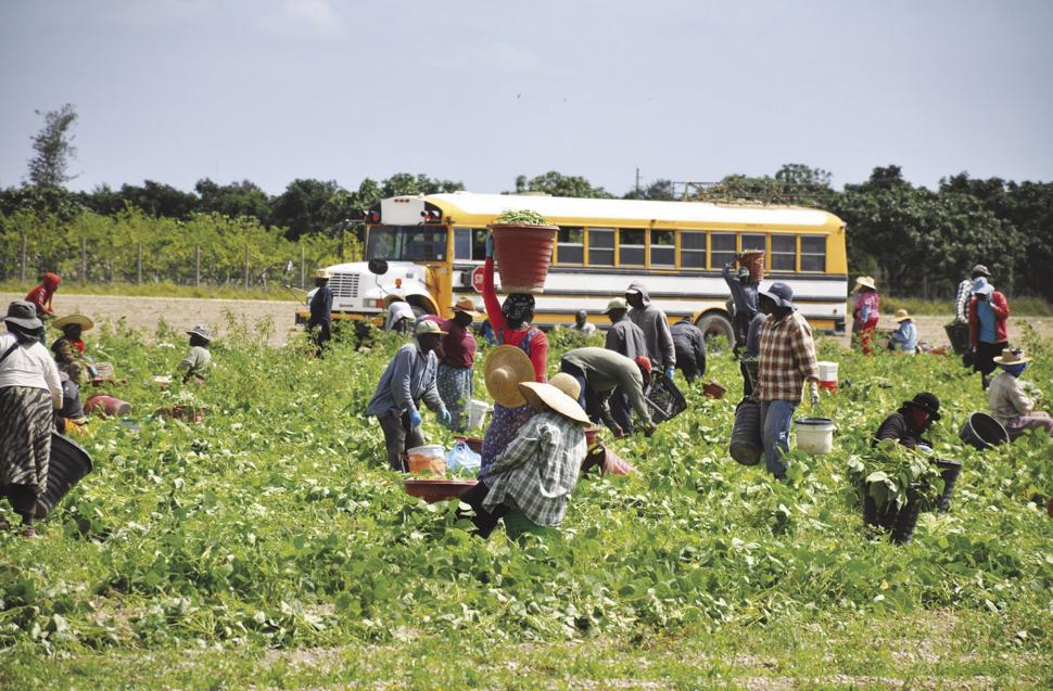 Scenes like the harvesting at the farm here may become far less common in South Dade as the NAFTA renegotiation did not address the concerns of South Florida farmers