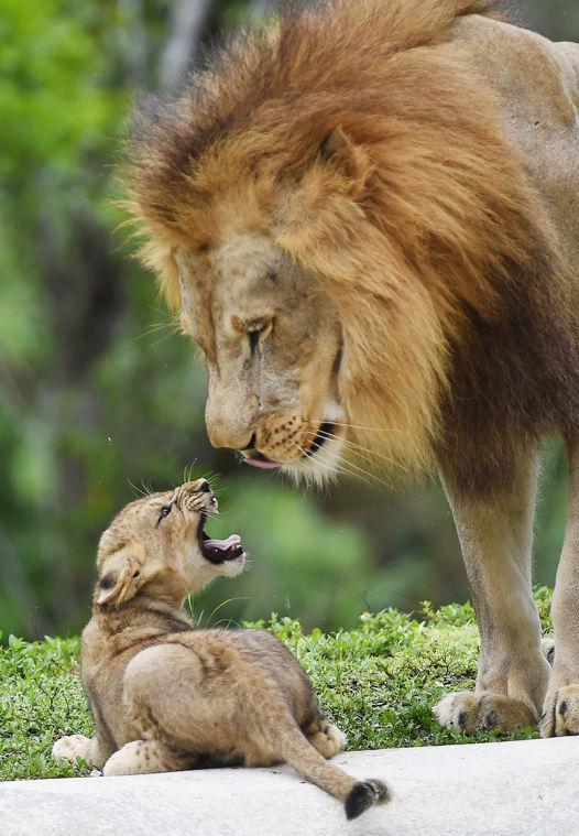 Lion Cub & Father