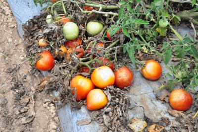 Tomatoes rot on the vine along Krome Ave, not profitable enough to harvest.