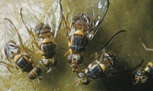 Three Oriental Fruit Flies were found in a trap in the Redland.