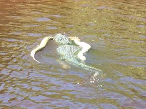 Gator swimming near the Everglades mangroves with a python in its mouth