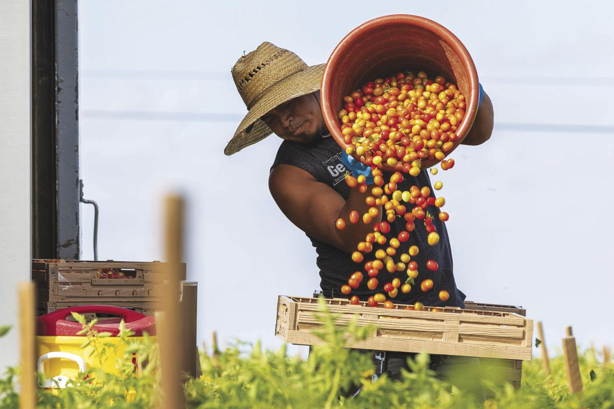 It takes many hands, doing long hours of hard work to harvest South Dade's tomatoes, zucchini and beans.