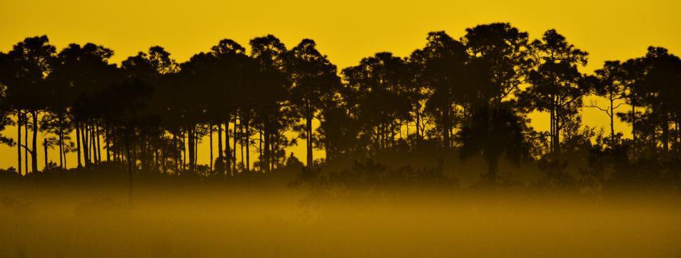 Foggy Pine Sunrise