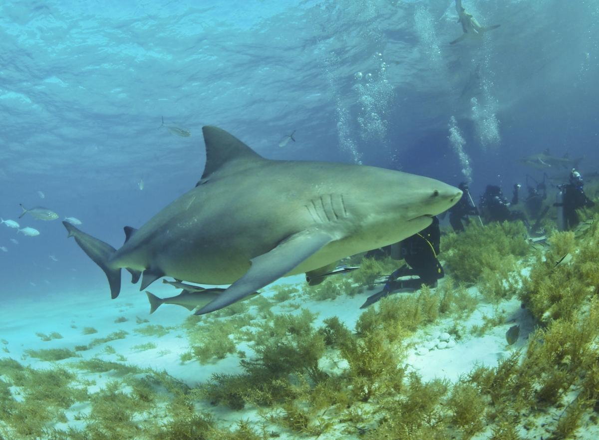 Bull Sharks are commonly sighted while diving in the Florida Keys.