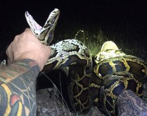 Brian Hargrove caught the 1,000th python as part of SFWMD's Python Elimination Program in the early morning hours on Saturday. Since the program began in March 2017, Hargrove has been its most prolific hunter, eliminating more than 110 pythons from SFWMD-managed public lands in the Everglades.