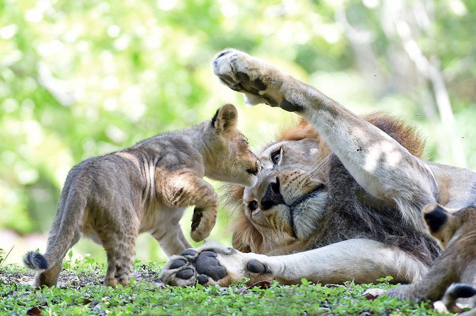 Lion Father Accepts Cub