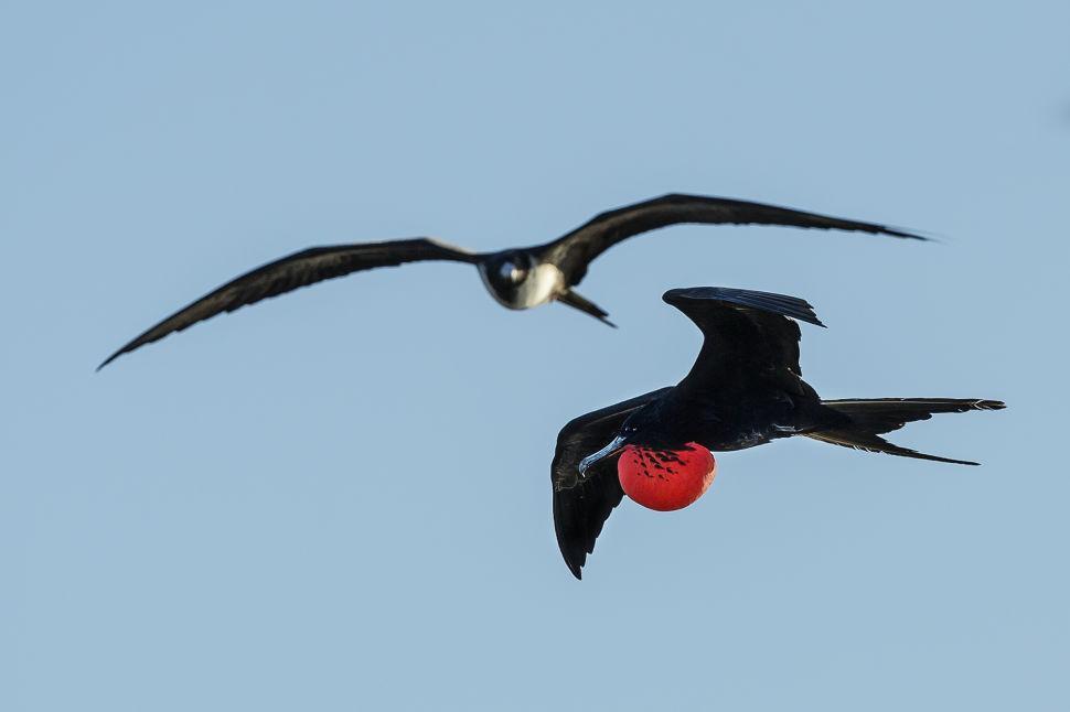 Frigate Birds In Flight
