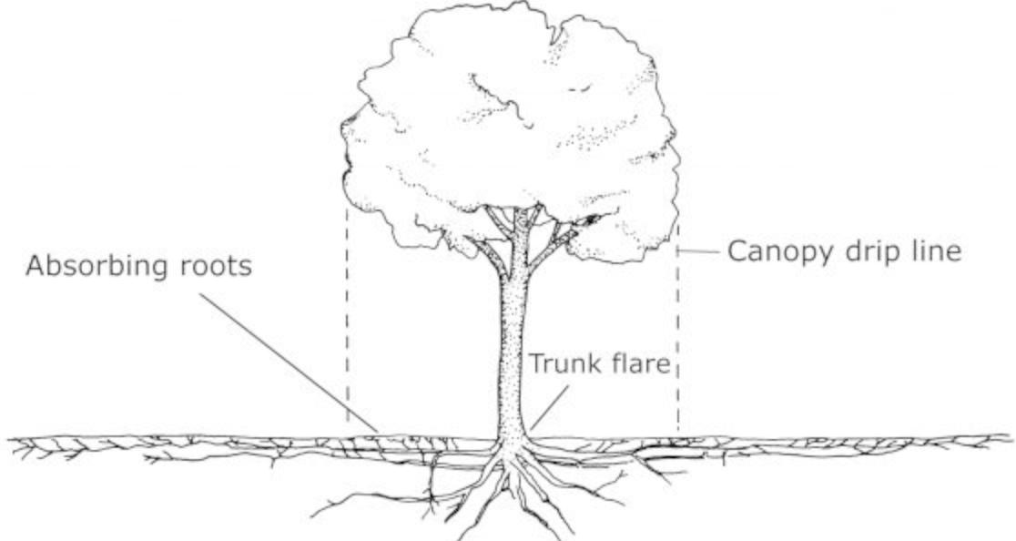 Tree root drip line