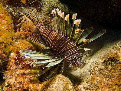 The beautiful lionfish, popular for aquariums, is native to the Indo-Pacific. As an invader, it depletes, and in some cases decimates, fish populations in our area and neighboring regions.
