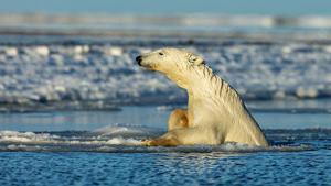 Polar Bear of Kaktovik