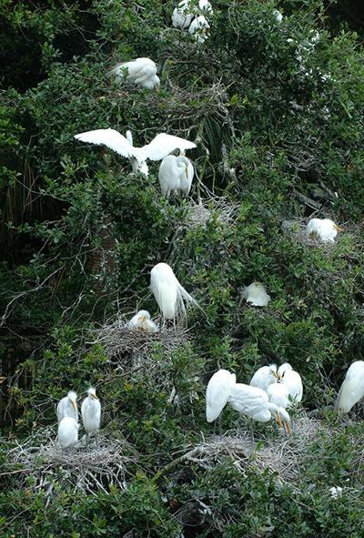 Great egrets on nests in trees.      Photo: UF/IFAS