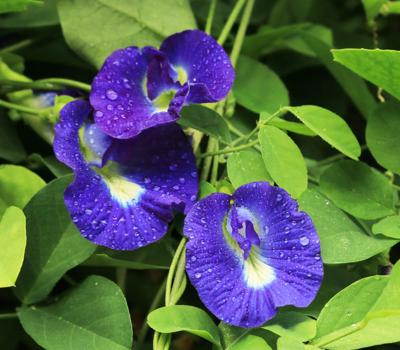 The Butterfly Pea should be in every South Florida landscape.
