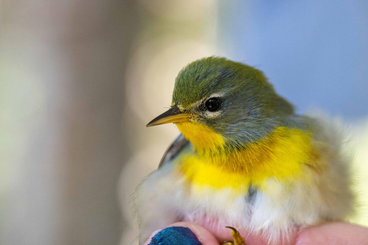 A Northern Parula is among the migratory species banded this Fall season at the Cape Florida Banding Station on Key Biscayne.