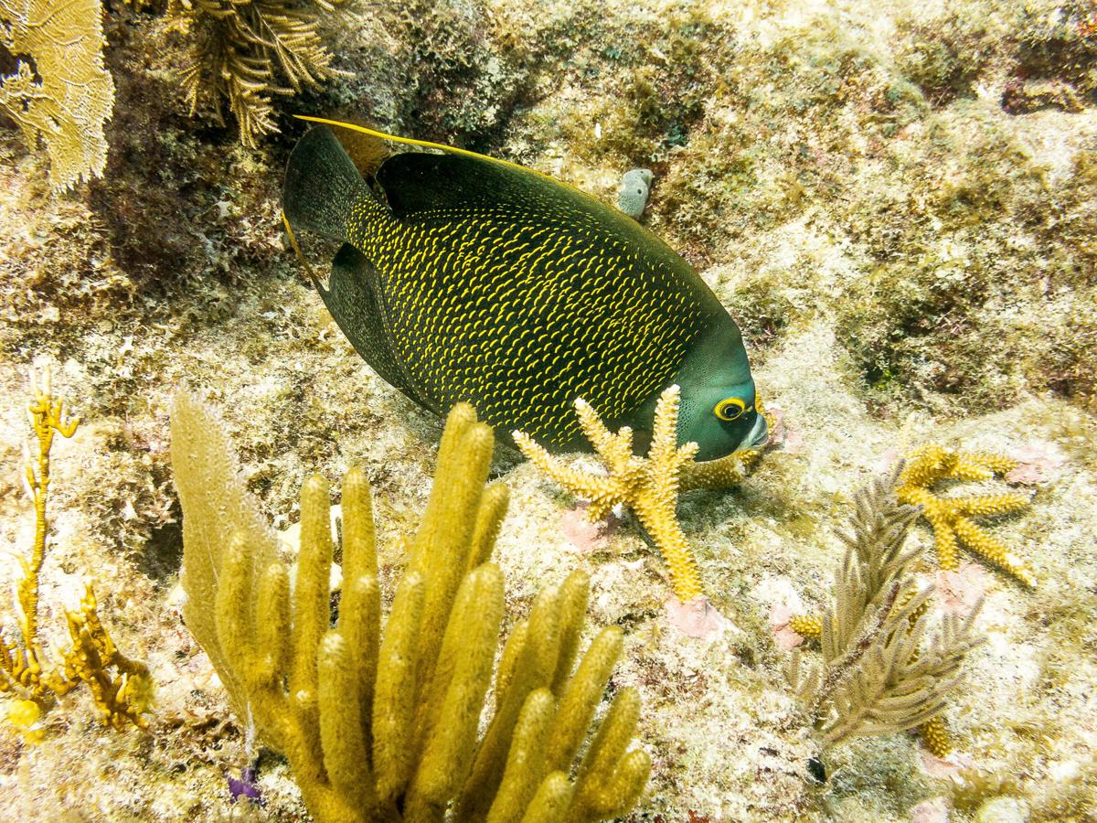 French Angelfish are commonly seen on Key Largo reefs.