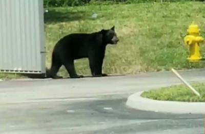 Bear sighted near the Oasis housing development on Thursday, July 4.