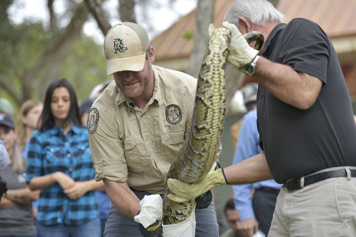 FWC Biologist Robert Edman bags a python.