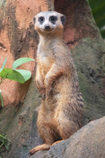 Gizmo, the meerkat