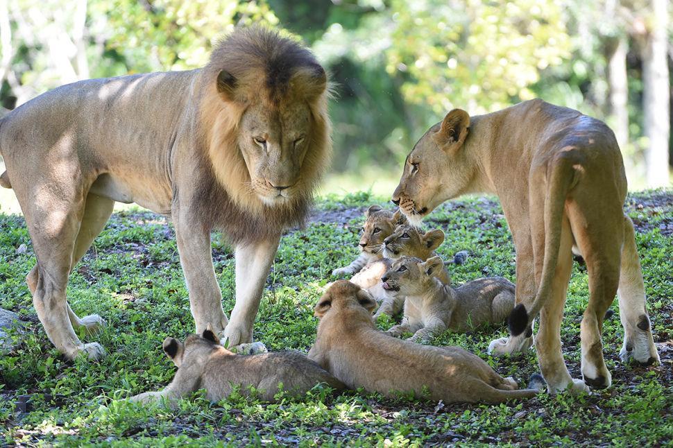Lions & Cubs