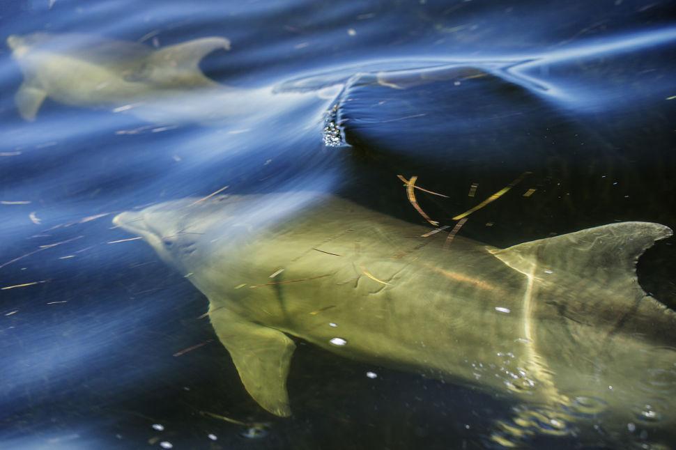 Florida Bay Dolphin