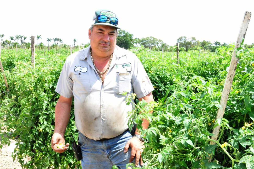 Sal Finocchiaro of S & L Farms, standing in his tomato fields that he can't afford to harvest, as illustrated by the ripe tomatoes rotting on the vine.