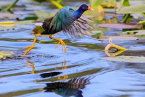 A male Purple Gallinule leaping from one lily pad to another in the swamp at  Everglades National Park.