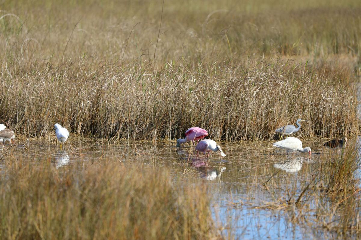 Roseate Spoonbills, White Ibises,  Tricolored Herons and Snowy Egrets forage in Everglades National Park. These are just a few  of the many species of water birds that are  increasing in numbers in the park to take  advantage of the effects of our very wet end to 2020