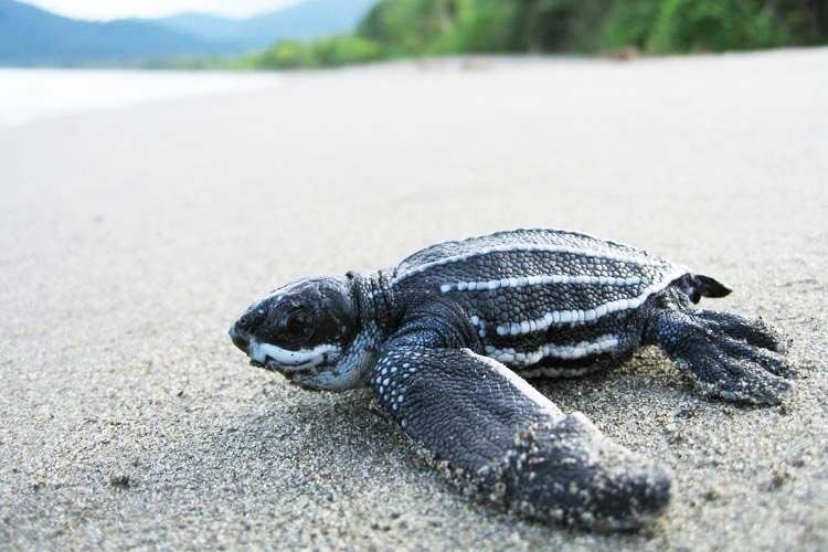 Leatherback turtle hatchling on beach