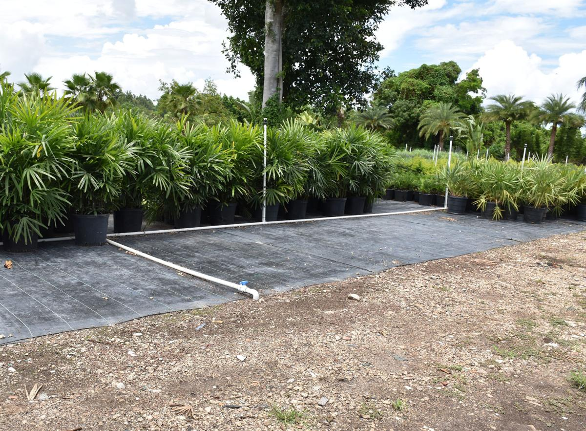 A large plot of the nursery stands empty, after thieves stole 110,000 potted palms.