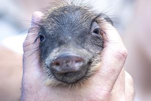 A baby piglet resting in the hands of its keeper.