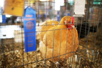County Fair to go ahead with '4-H only' option